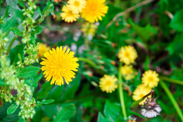 Beautiful yellow dandelion