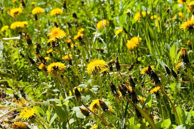 最初の美しい黄色のタンポポと草の咲く牧草地