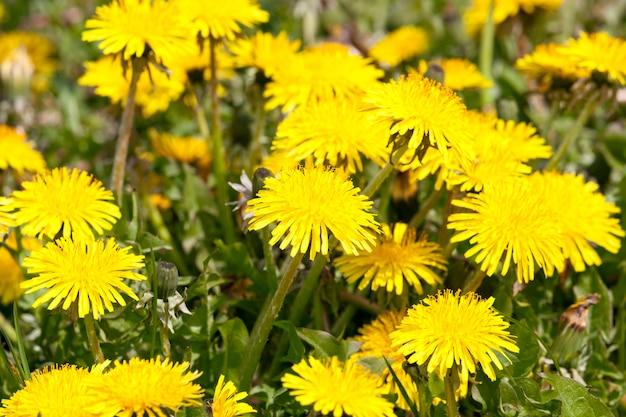Красивые желтые одуванчики в начале и цветущий луг с травой