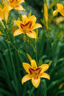 夏の庭で美しい黄色のカンゾウの花