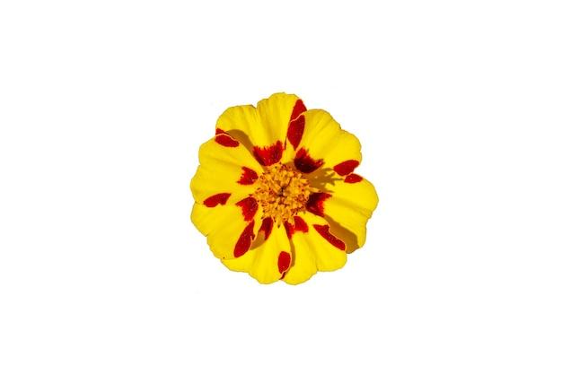 白い背景で隔離の美しい黄色の花