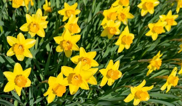 Beautiful yellow flowers daffodils.