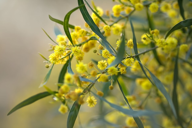 Beautiful yellow flowers of a flowering spring tree in the park