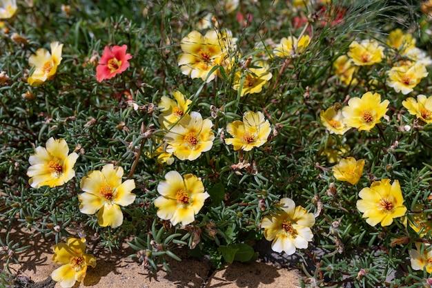 Beautiful yellow flowers portulaca oleraceae in a garden. close-up. selective focus.