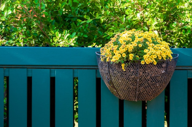 Beautiful yellow flowers in pots hanging on a wooden fence.
