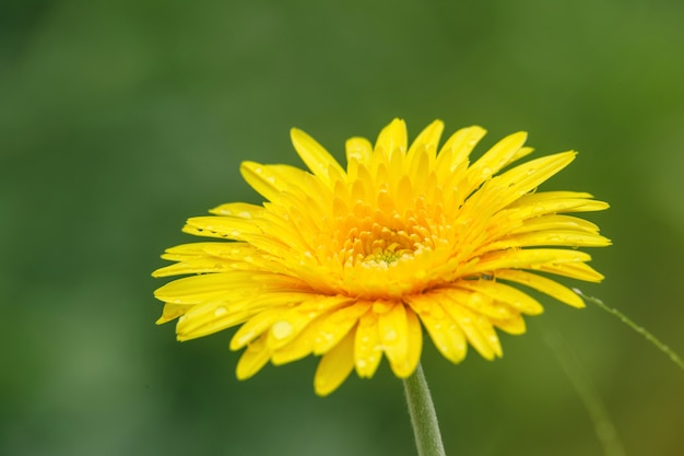 Beautiful yellow flowers with drops of water on green background.
