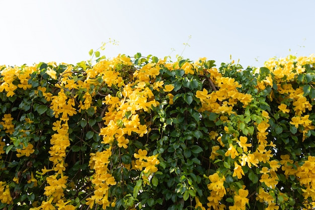 Beautiful yellow flowers with green leaves