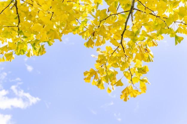 美しい黄色のイチョウ、日光のある晴れた日の秋の季節の銀杏イチョウの葉、クローズアップ、ボケ味、ぼやけた背景。