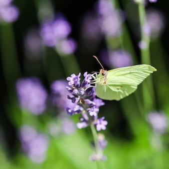Beautiful yellow gonepteryx rhamni or common brimstone butterfly on a purple lavender flower