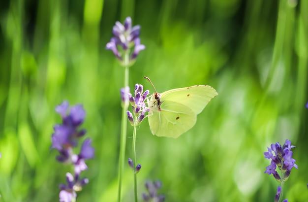 Красивая желтая бабочка gopteryx rhamni или обыкновенная серная бабочка на фиолетовом цветке лаванды