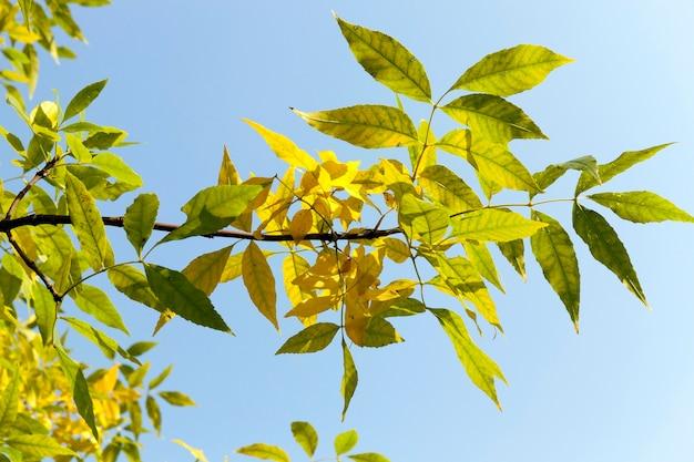 가을 기간의 아름다운 황록색 화산재 단풍, 화창한 따뜻한 날씨