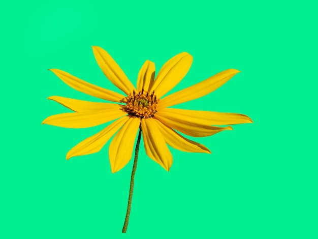 아름다운 노란색 예루살렘 아티초크 꽃은 녹색 배경에 분리되어 있습니다.