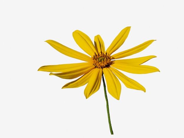아름다운 노란색 예루살렘 아티초크 꽃은 흰색 배경에 분리되어 있습니다.