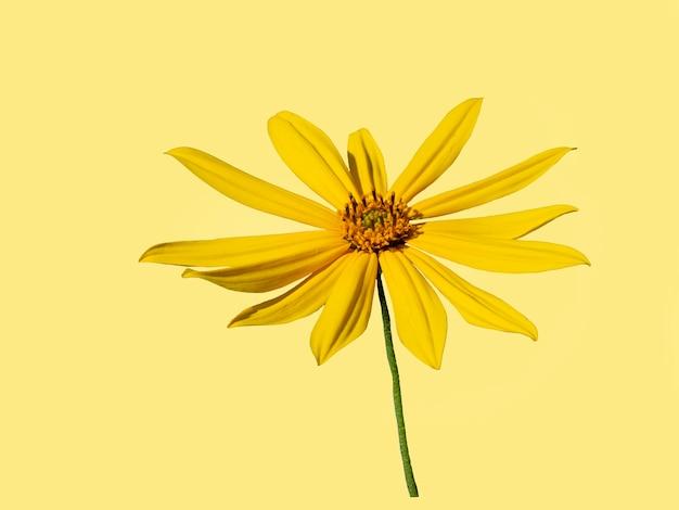 아름다운 노란색 예루살렘 아티초크 꽃은 노란색 배경에 분리되어 있습니다.