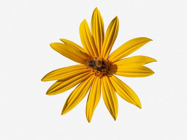 땅벌이 있는 아름다운 노란색 예루살렘 아티초크 꽃은 흰색 배경에 격리됩니다.