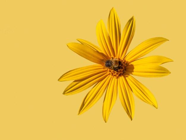 호박벌이 있는 아름다운 노란색 예루살렘 아티초크 꽃은 노란색 배경에 분리되어 공간을 복사합니다.
