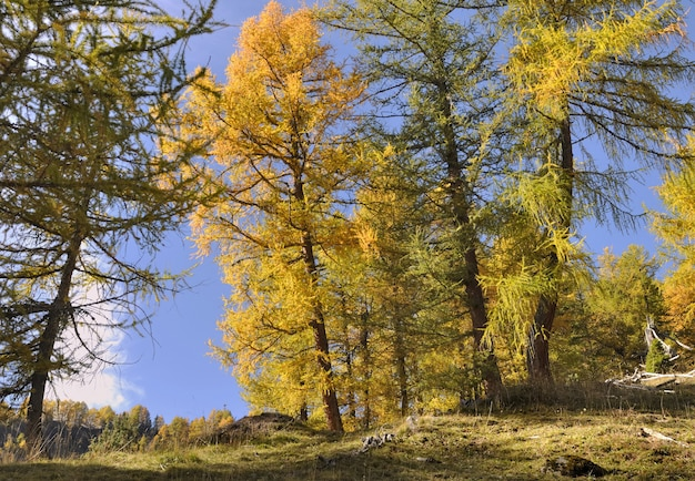 Beautiful yellow larches in autumn in alpine forest