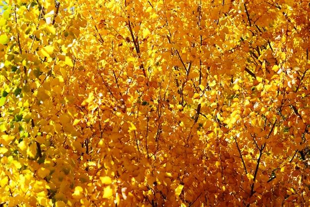 秋の背景、ニュージーランドの美しい黄色の葉