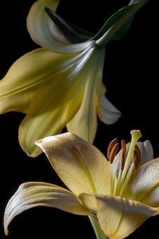 Beautiful yellow lily flower