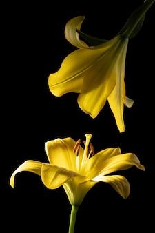 아름 다운 노란 백합 꽃