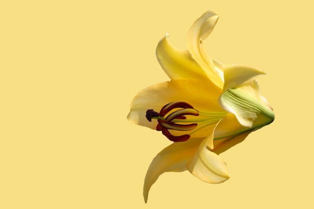 白い背景で隔離の美しい黄色のユリ