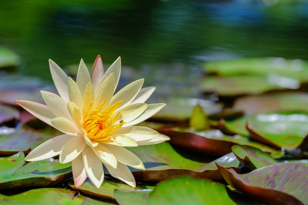 Beautiful yellow lotus flower with green leaves in the pond