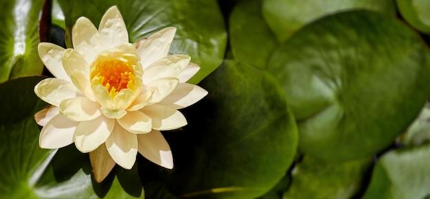 Красивый желтый лотос или кувшинки, цветущие в пруду с листьями в фоновом режиме