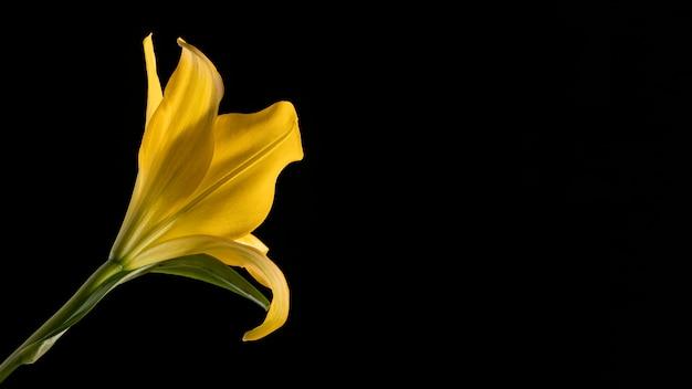 Красивый желтый макро цветок лилии
