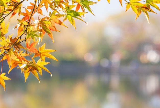 Beautiful yellow maple leaves on an autumn day