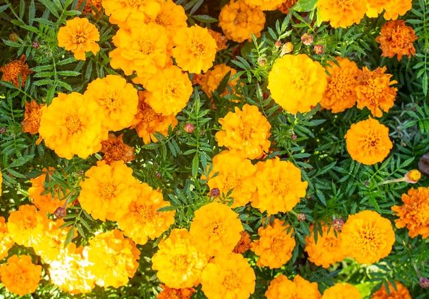 Beautiful yellow marigold flowers, garden marigolds. close-up of calendula flowers. yellow marigolds background pattern.