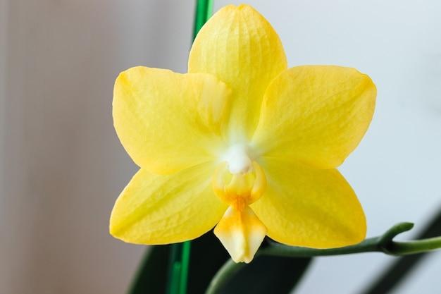 Красивый желтый цветок орхидеи фаленопсис на размытом фоне