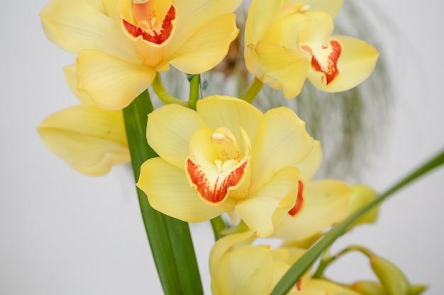 겨울에 녹색 잎이 있는 아름다운 노란 난초