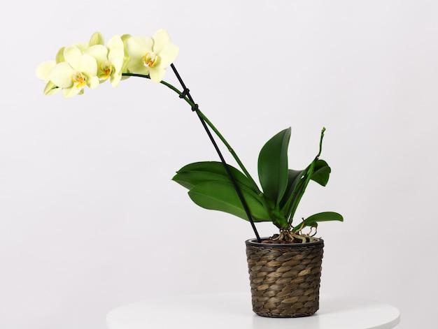 美しい黄色の蘭