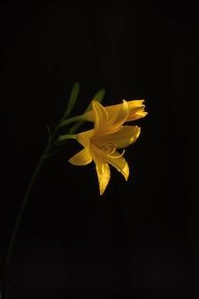 Beautiful yellow-petaled flower on black