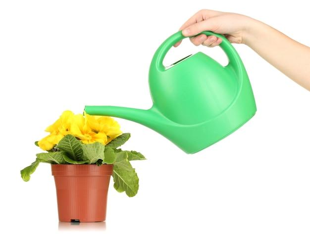 植木鉢とじょうろの美しい黄色のプリムラ、白