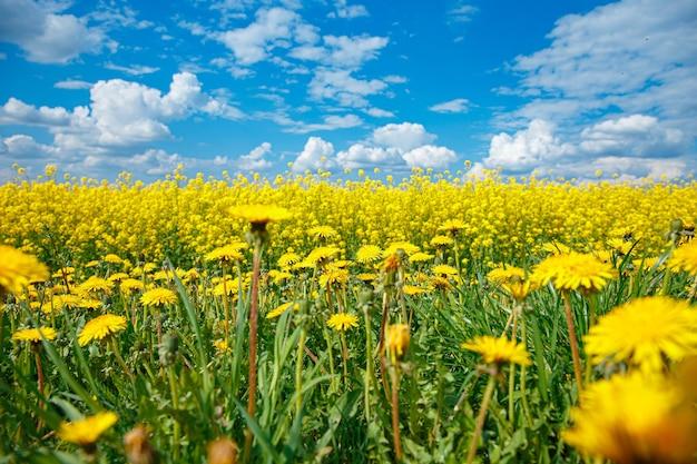 青い空とタンポポのテーブルに美しい黄色の菜の花