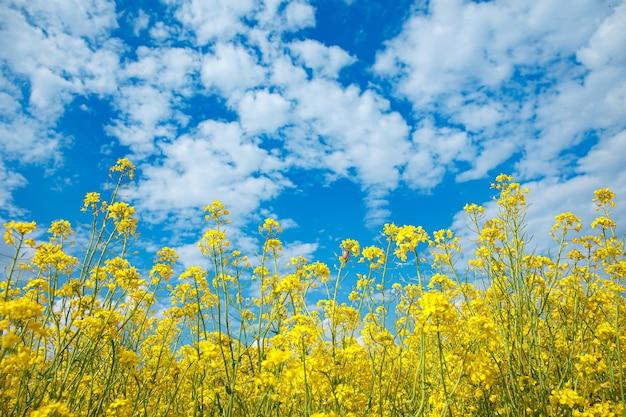 Красивые желтые цветы изнасилования на столе голубого неба