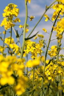 Красивые желтые цветы рапса в весенний сезон