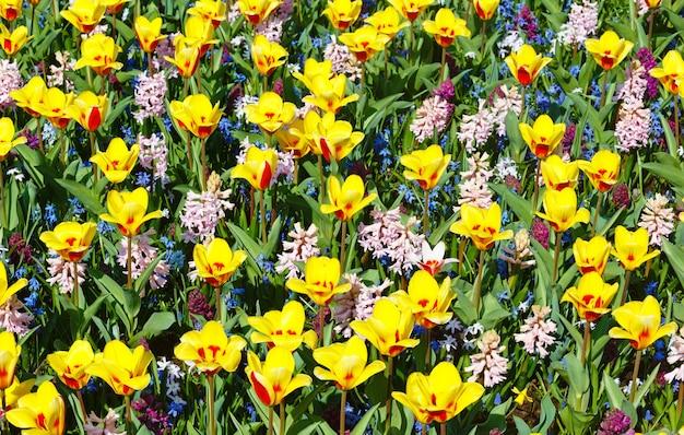 Красивые желто-красные тюльпаны и розовые гиацинты (фон природа весна).