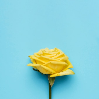 Beautiful yellow rose on blue background