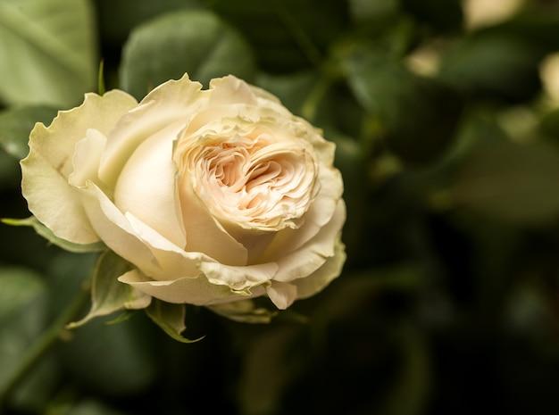 Beautiful yellow rose close up.