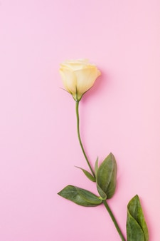 Beautiful yellow rose on pink background