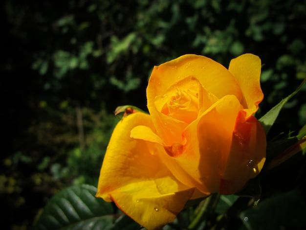 背景の挨拶に最適な晴れた日に庭に露のしずくと美しい黄色いバラ