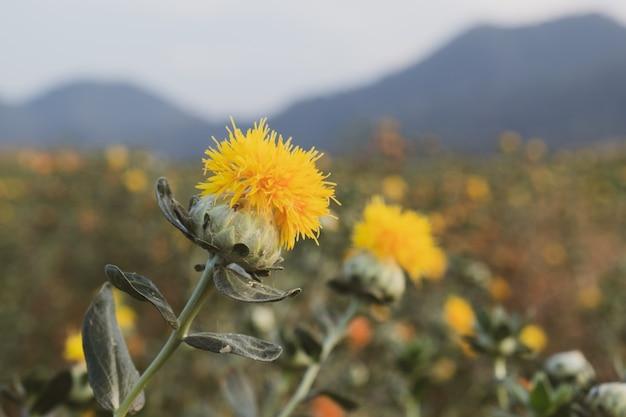 Beautiful yellow safflowe in nature background, carthamus tinctorius