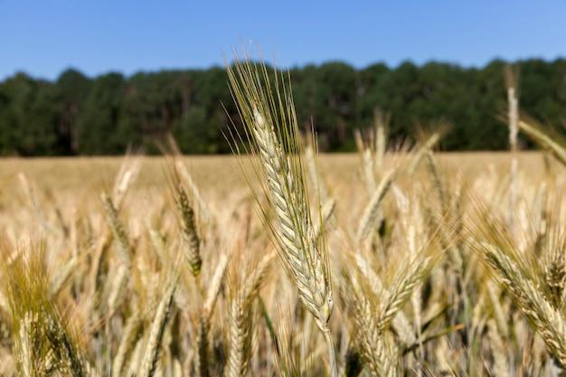 フィールド上の夏の小麦の美しい黄色の小穂