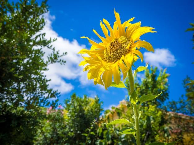 息を呑むような明るい空の下の美しい黄色いヒマワリ