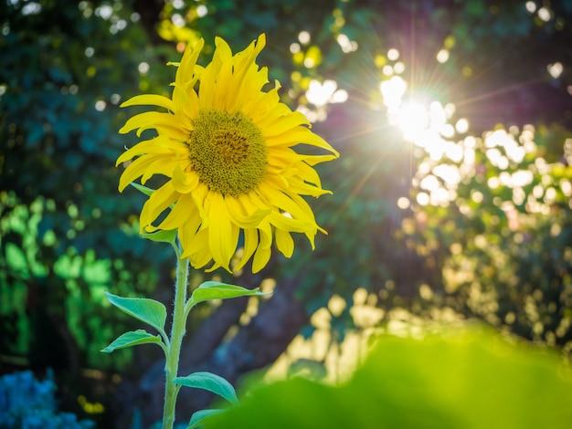 息を飲むような明るい空の下で美しい黄色いヒマワリ
