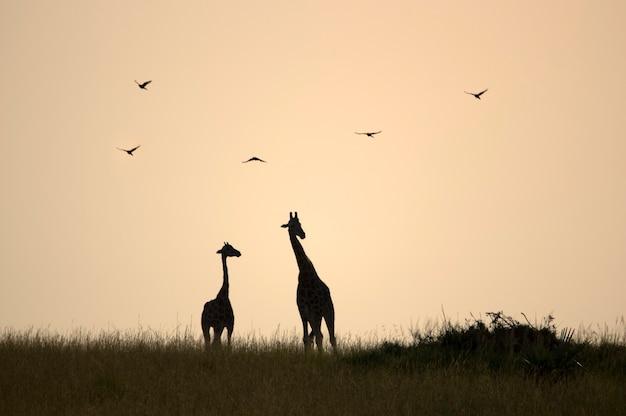 2匹のキリンと鳥がいる美しい黄色い日の出。マーチソン国立公園が落ちる。ウガンダ。アフリカ