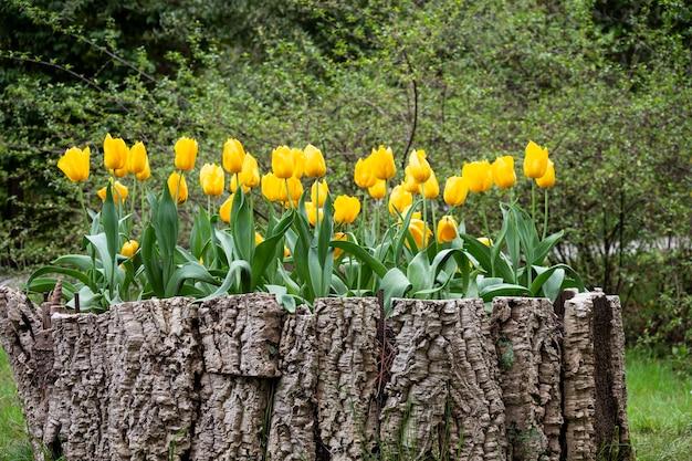 夏の日の公園の花壇に美しい黄色のチューリップ畑の花