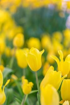 Beautiful yellow tulip flowers in garden